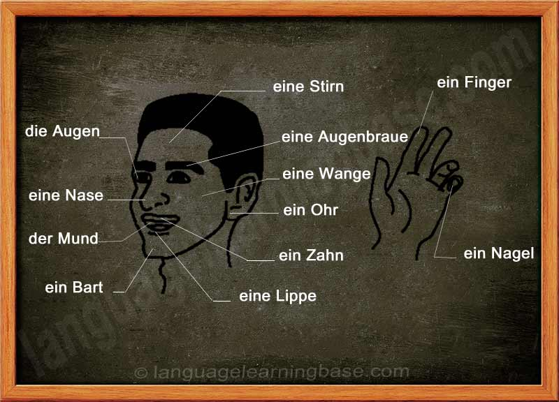 German Vocabulary. Face and Body Parts. - learn German,words,dictionary,communication,visual